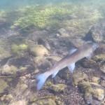 Yellowstone Madison River Fish Underwater Photo