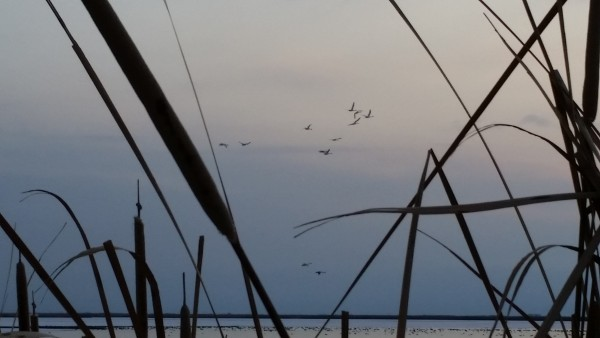 Evening at Great Salt Lake Marsh with Ducks and Geese in background